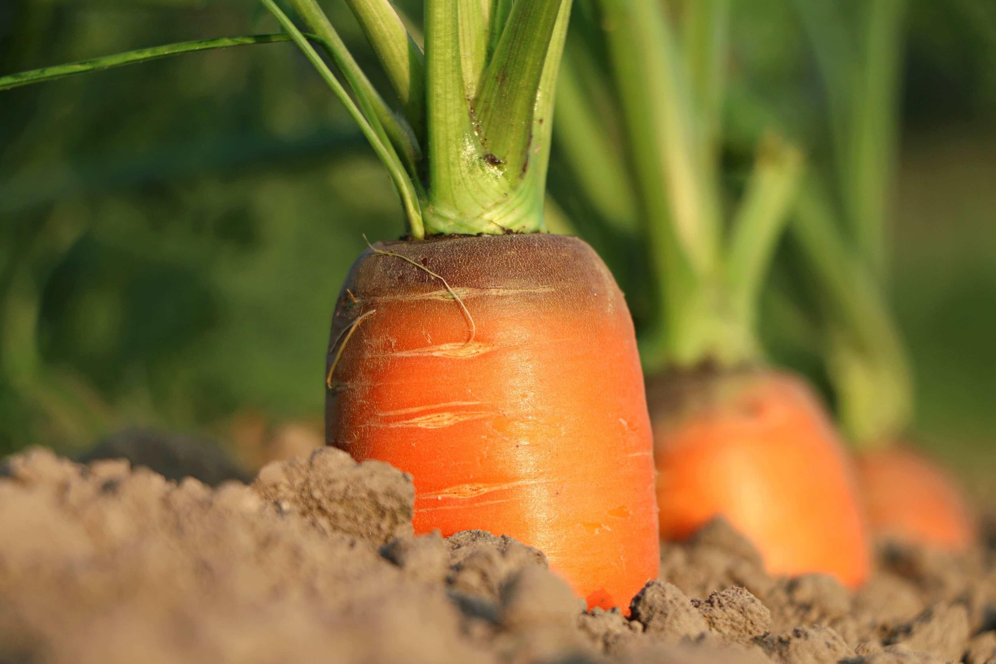 carrot-1565597(1)
